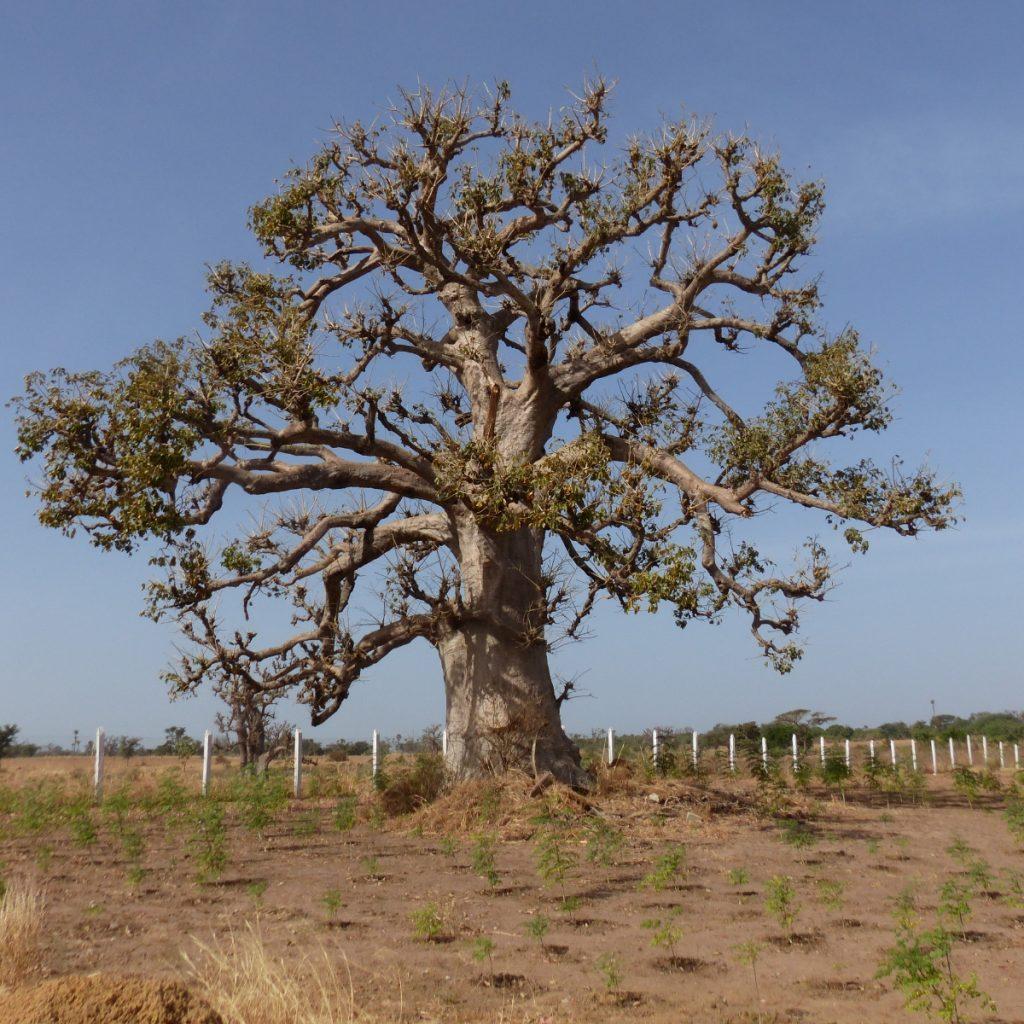 Baobab711