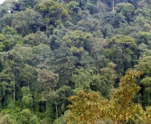Bergregenwald im Nyungwe Forest