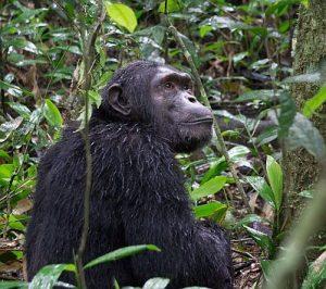 schimpansen-im-kibale-wald-uganda