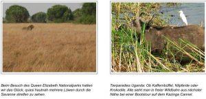 Beim Besuch des Queen Elizabeth Nationalparks hatten wir das Glück, quasi hautnah mehrere Löwen durch die Savanne streifen zu sehen. Tierparadies Uganda: Ob Kaffernbüffel, Nilpferde oder Krokodile. Alle sieht man in freier Wildbahn aus nächster Nähe bei einer Bootstour auf dem Kazinga Kanal.