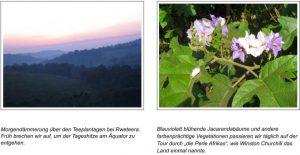 """Morgendämmerung über den Teeplantagen bei Rweteera. Früh brechen wir auf, um der Tageshitze am Äquator zu entgehen. Blauviolett blühende Jacarandabäume und andere farbenprächtige Vegetationen passieren wir täglich auf der Tour durch """"die Perle Afrikas"""", wie Winston Churchill das Land einmal nannte."""