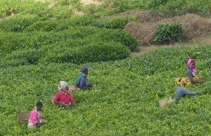 Reisebericht Fahrradtour Ruanda, Teeplantage bei Kitabi