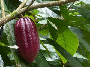 São Tomé kakao
